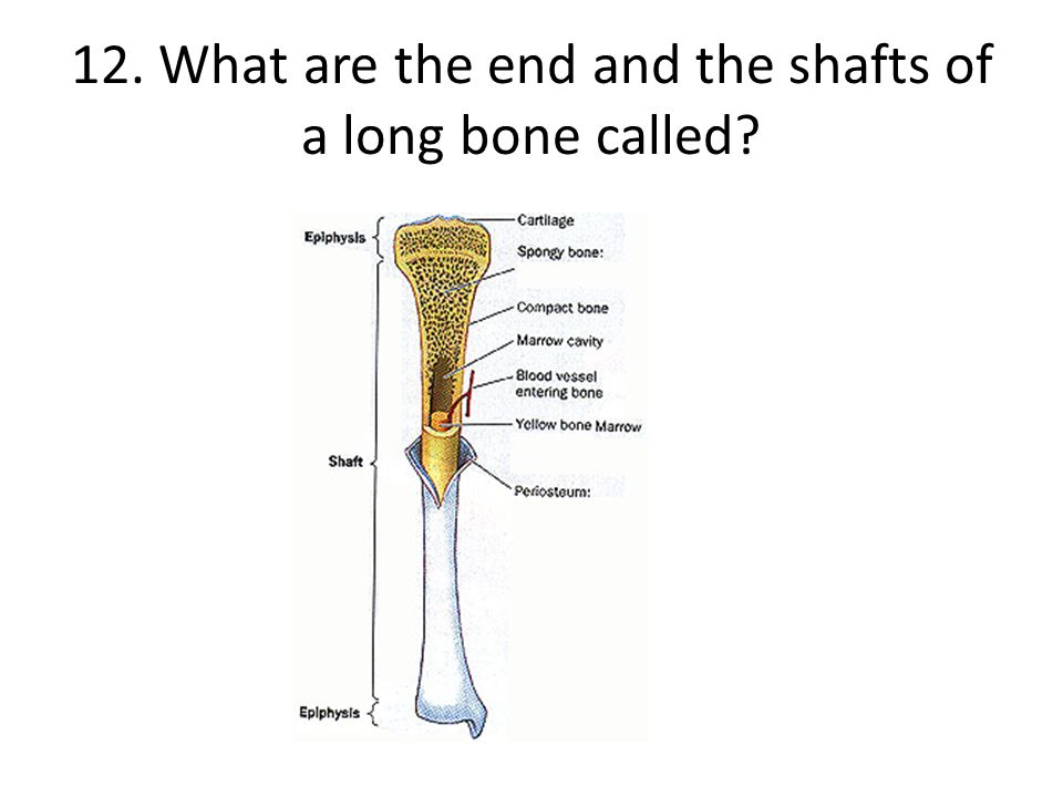12. What are the end and the shafts of a long bone called