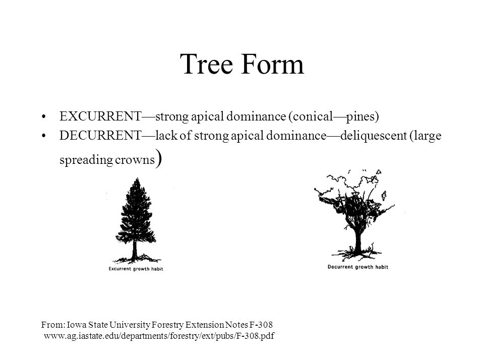 Tree Form EXCURRENT—strong apical dominance (conical—pines)