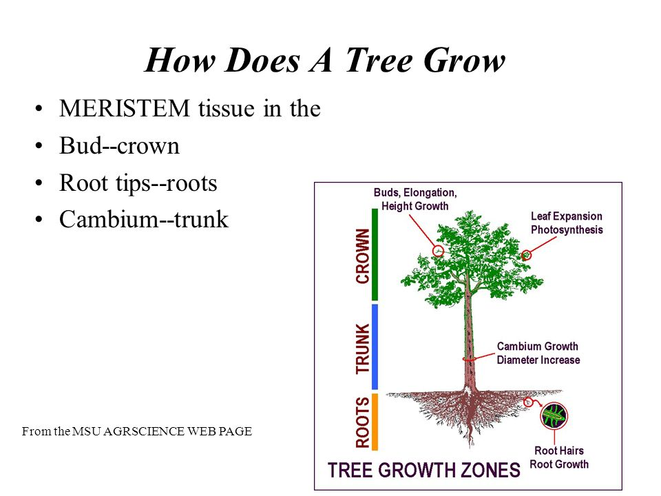 How Does A Tree Grow MERISTEM tissue in the Bud--crown