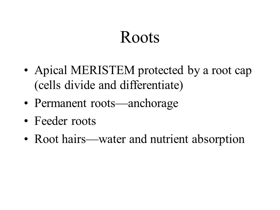 Roots Apical MERISTEM protected by a root cap (cells divide and differentiate) Permanent roots—anchorage.