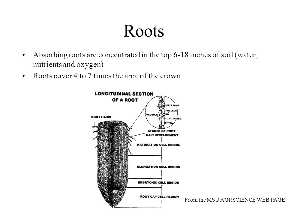 Roots Absorbing roots are concentrated in the top 6-18 inches of soil (water, nutrients and oxygen)