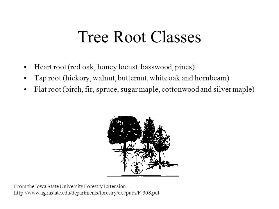 Tree Root Classes Heart root (red oak, honey locust, basswood, pines)