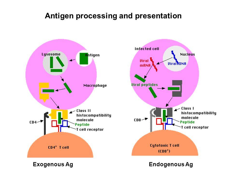 Antigen processing and presentation