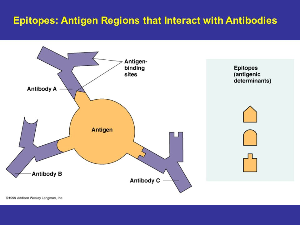 Epitopes: Antigen Regions that Interact with Antibodies