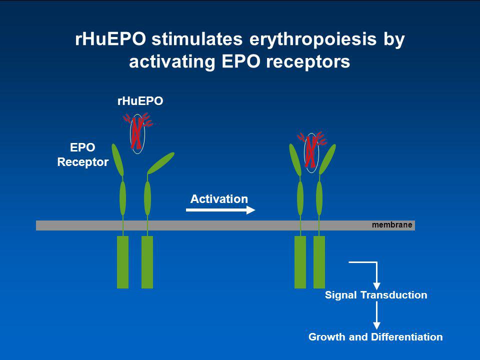 rHuEPO stimulates erythropoiesis by activating EPO receptors