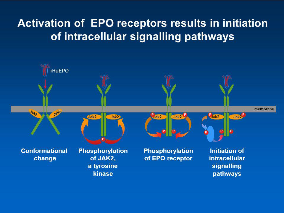 Activation of EPO receptors results in initiation of intracellular signalling pathways