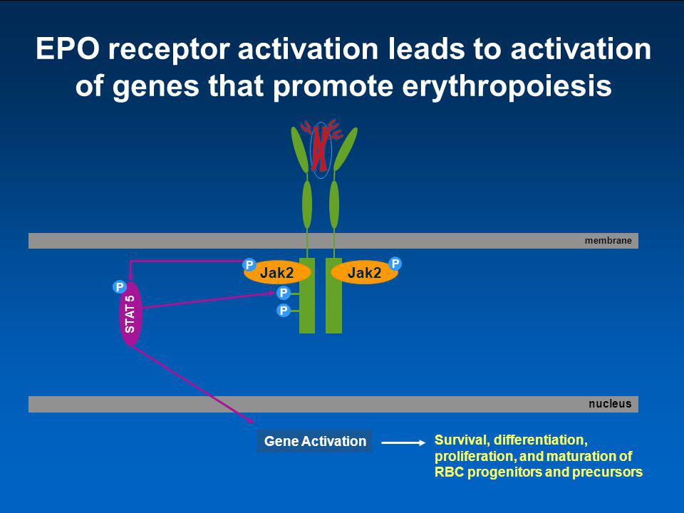 EPO receptor activation leads to activation of genes that promote erythropoiesis