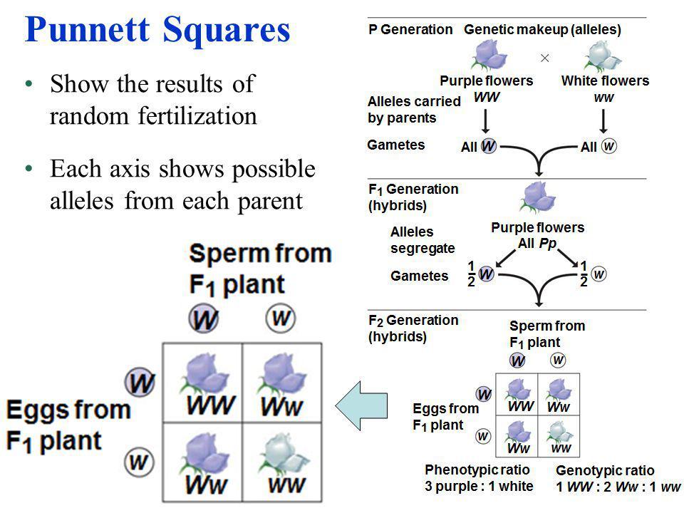Punnett Squares Show the results of random fertilization