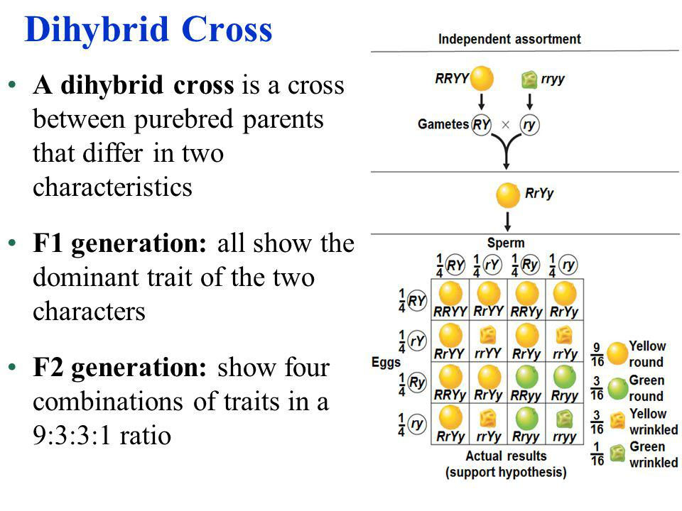 Dihybrid Cross A dihybrid cross is a cross between purebred parents that differ in two characteristics.