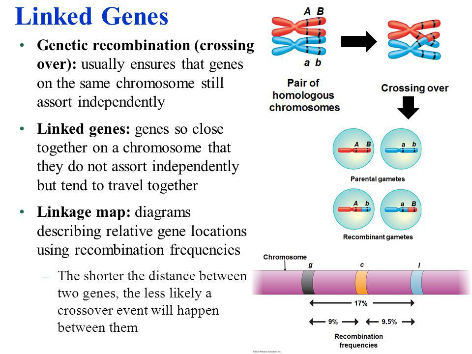 Linked Genes Genetic recombination (crossing over): usually ensures that genes on the same chromosome still assort independently.