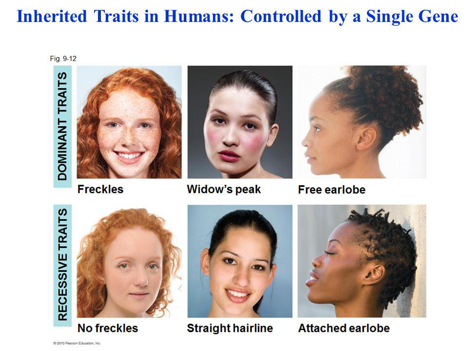 Inherited Traits in Humans: Controlled by a Single Gene