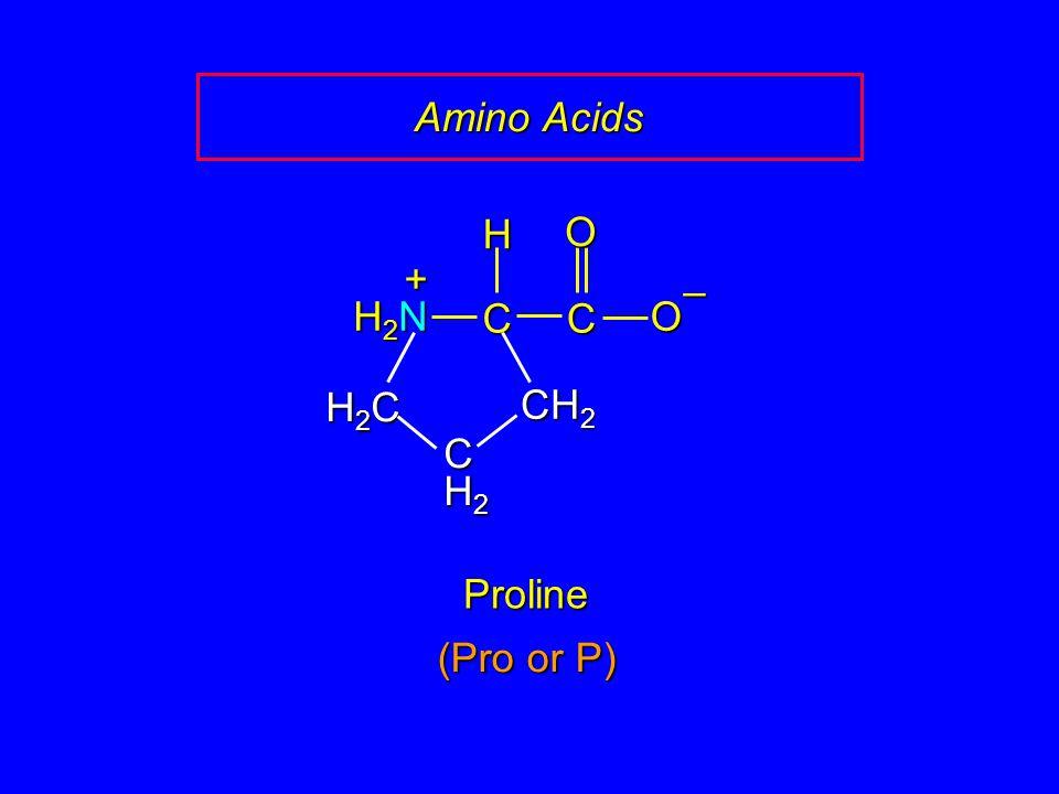 Amino Acids C O – CH2 H H2N + H2C C H2 Proline (Pro or P)