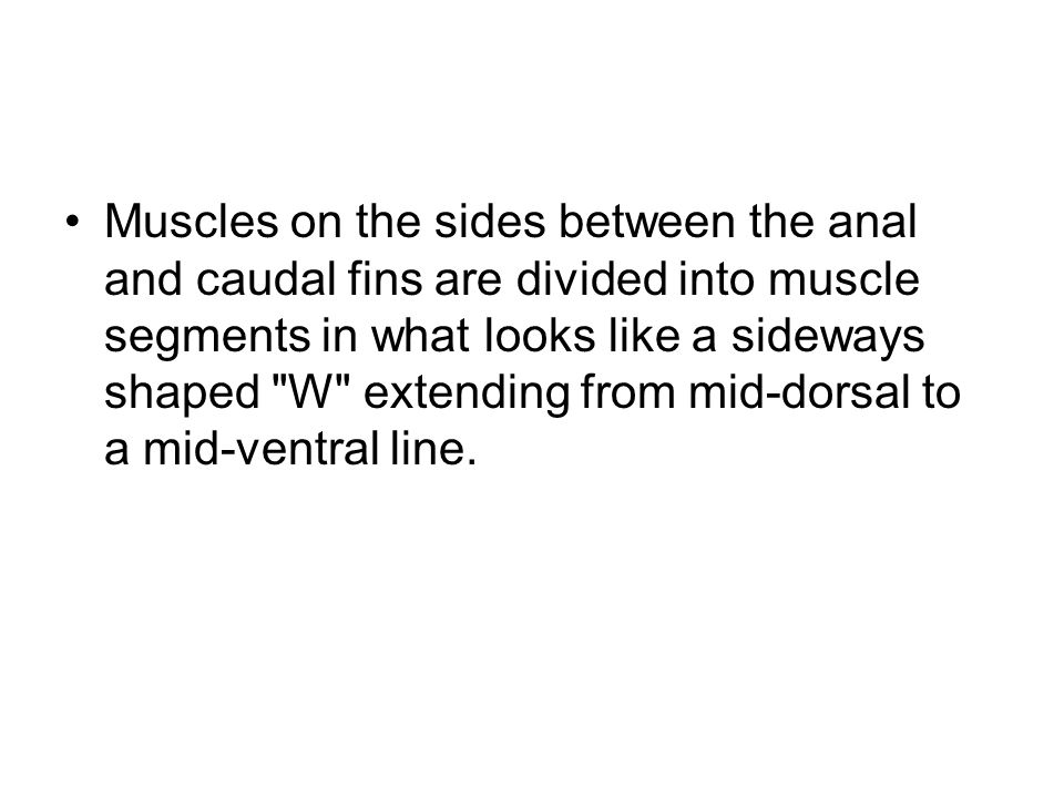 Muscles on the sides between the anal and caudal fins are divided into muscle segments in what looks like a sideways shaped W extending from mid-dorsal to a mid-ventral line.