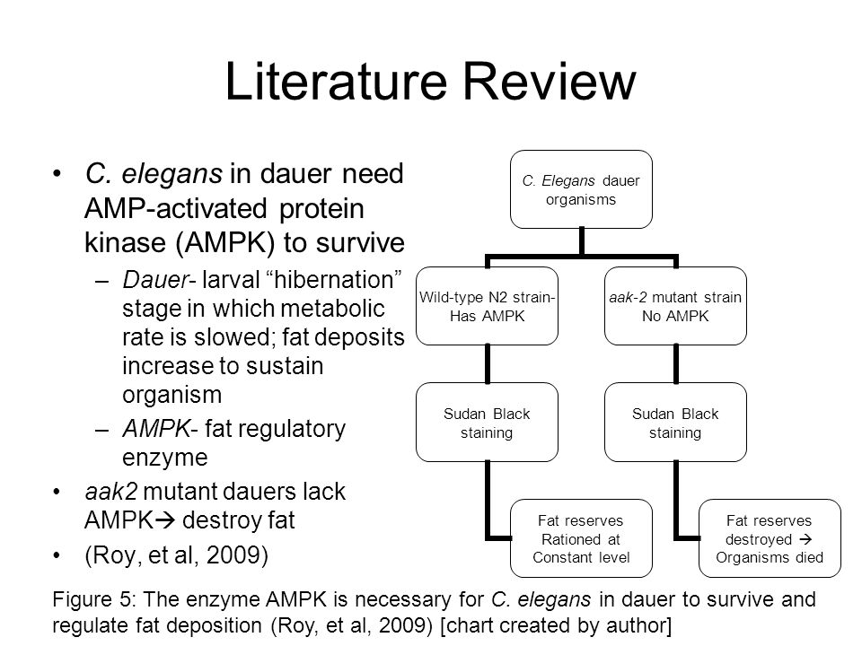 Literature Review C. elegans in dauer need AMP-activated protein kinase (AMPK) to survive.