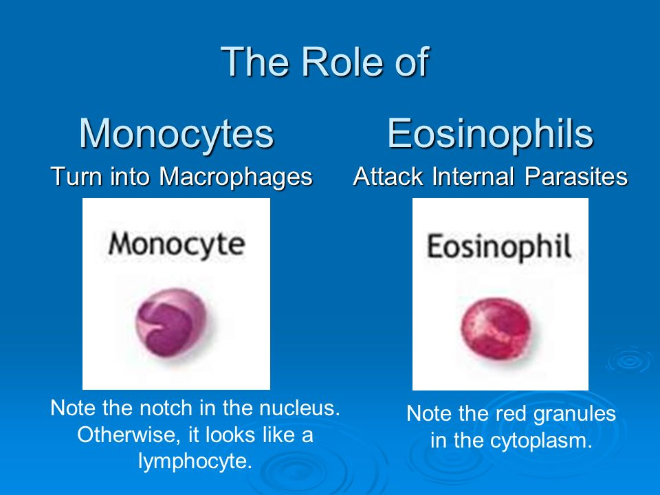 The Role of Monocytes Eosinophils Turn into Macrophages