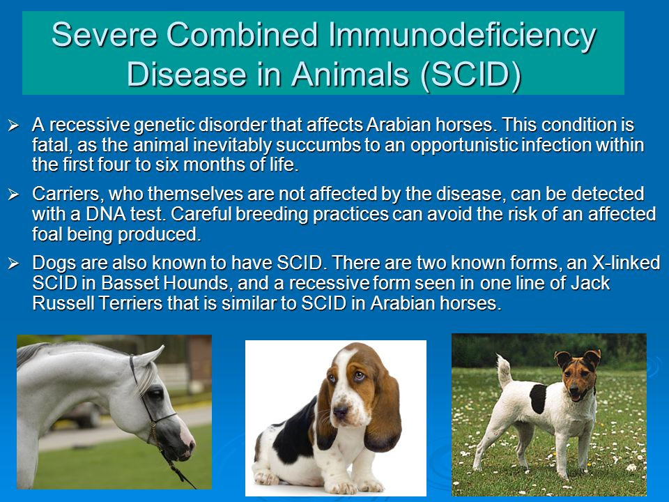 Severe Combined Immunodeficiency Disease in Animals (SCID)