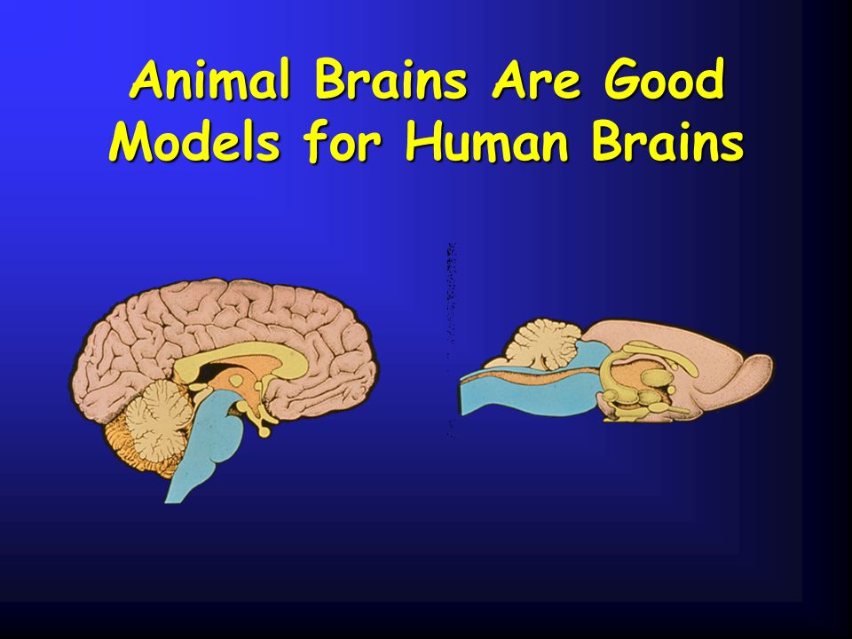 Animal Brains Are Good Models for Human Brains