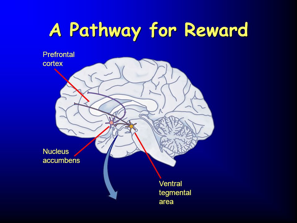 A Pathway for Reward Prefrontal cortex Nucleus accumbens
