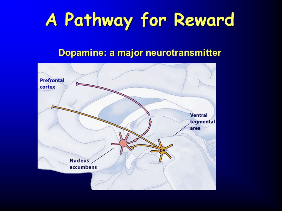 A Pathway for Reward Dopamine: a major neurotransmitter
