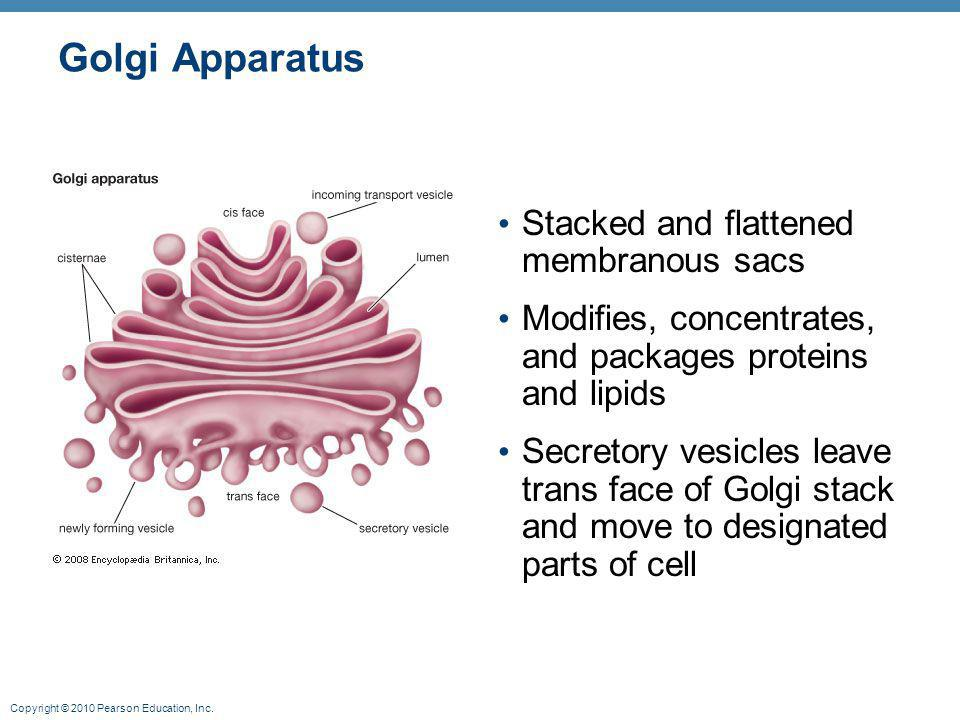 Golgi Apparatus Stacked and flattened membranous sacs