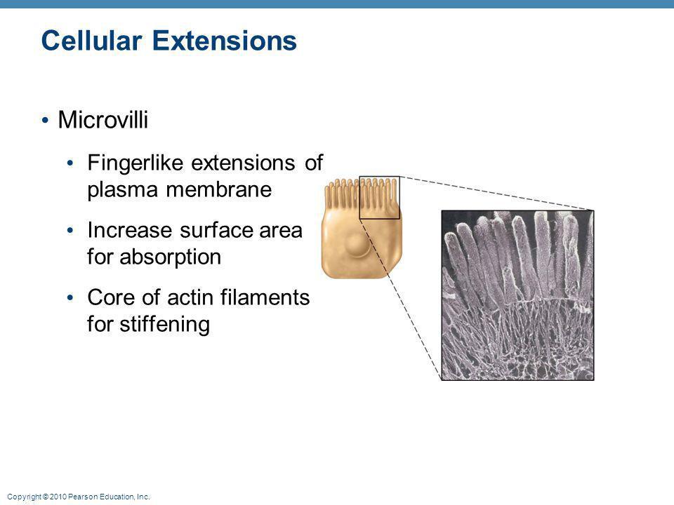Cellular Extensions Microvilli