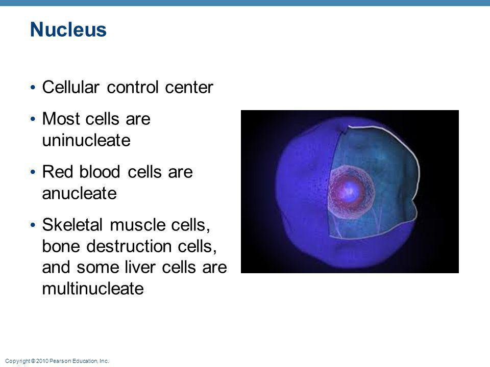 Nucleus Cellular control center Most cells are uninucleate