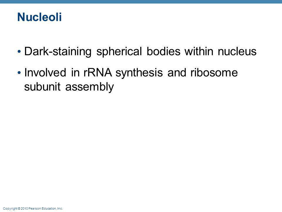 Nucleoli Dark-staining spherical bodies within nucleus.
