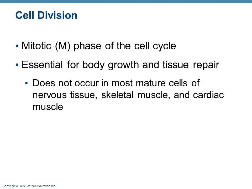 Mitotic (M) phase of the cell cycle