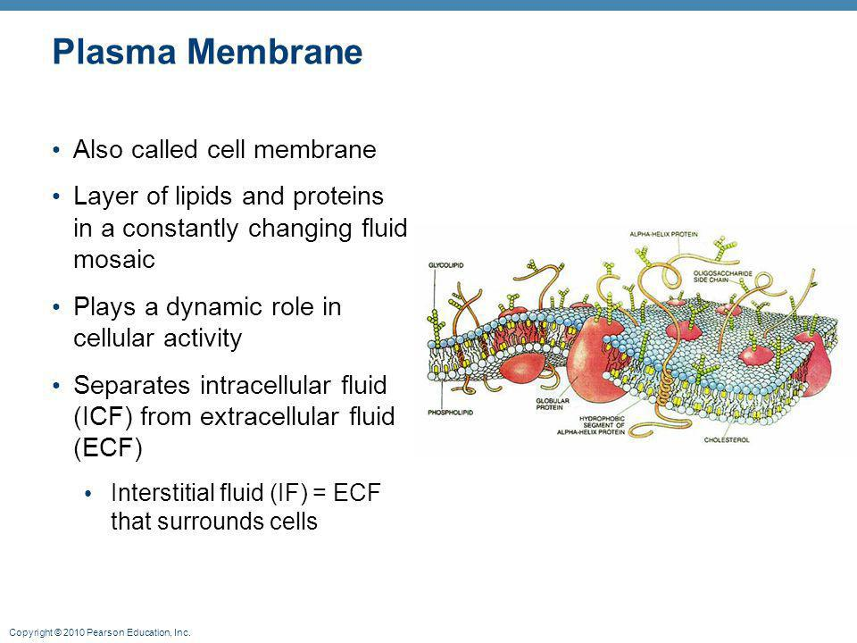 Plasma Membrane Also called cell membrane