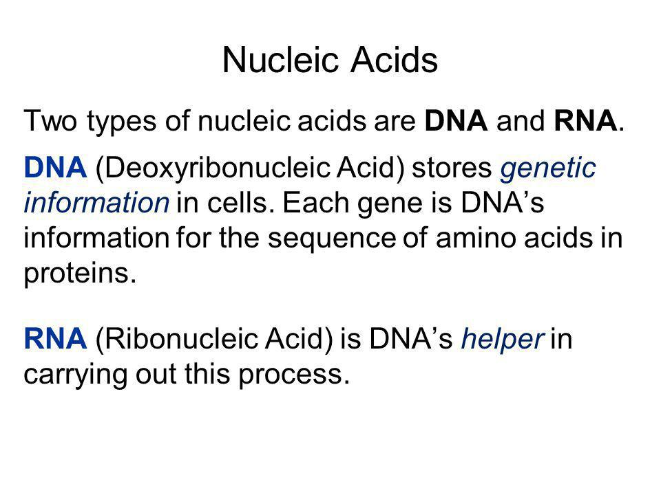 Nucleic Acids Two types of nucleic acids are DNA and RNA.