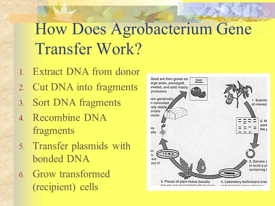 How Does Agrobacterium Gene Transfer Work