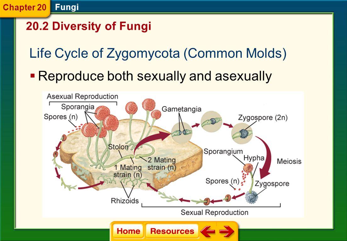 Life Cycle of Zygomycota (Common Molds)