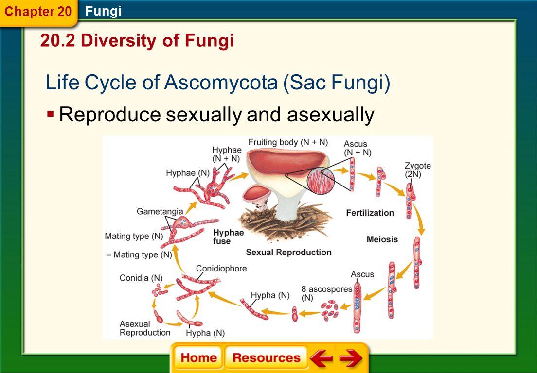 Life Cycle of Ascomycota (Sac Fungi)