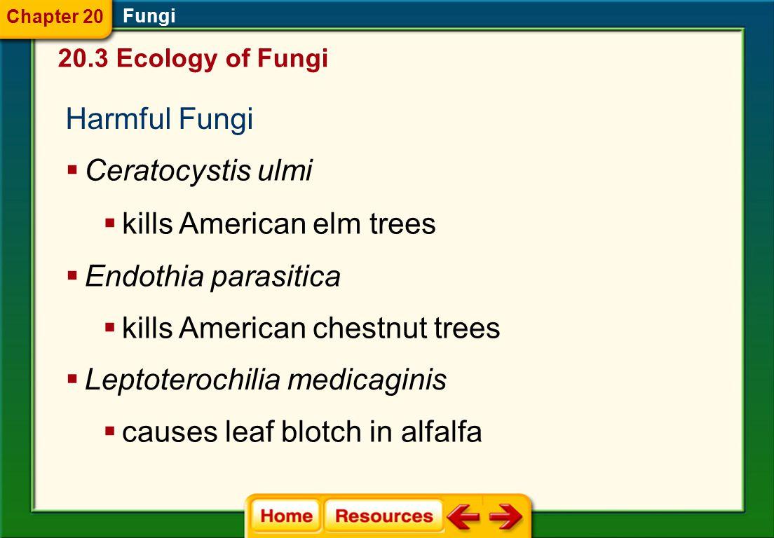 kills American elm trees