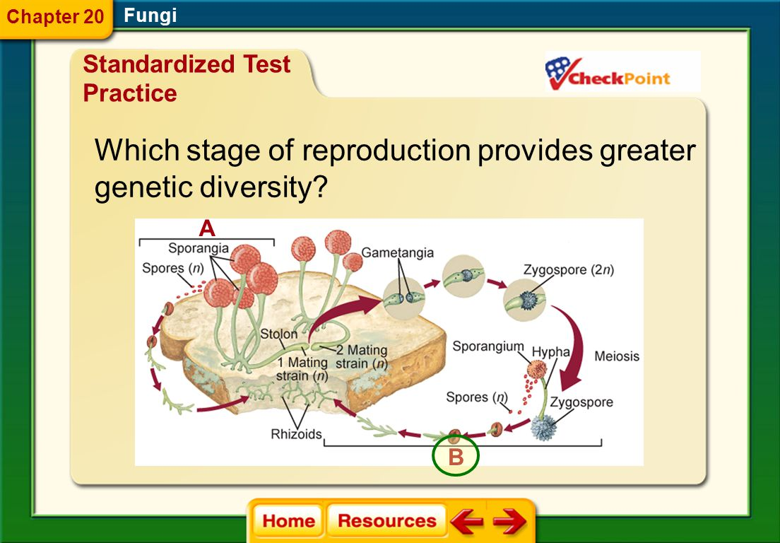Which stage of reproduction provides greater genetic diversity