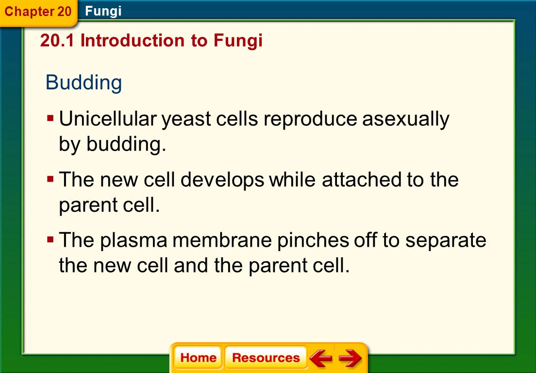 Unicellular yeast cells reproduce asexually by budding.