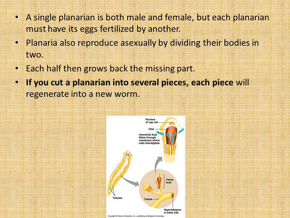 A single planarian is both male and female, but each planarian must have its eggs fertilized by another.