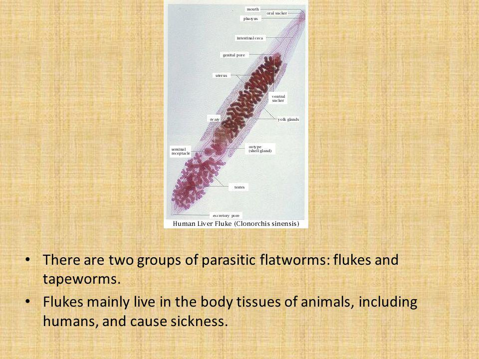 There are two groups of parasitic flatworms: flukes and tapeworms.