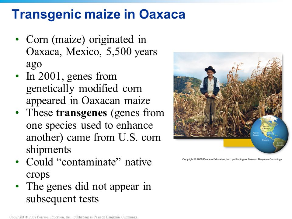 Transgenic maize in Oaxaca