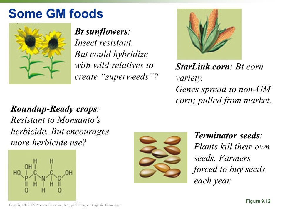 Some GM foods Bt sunflowers: Insect resistant.