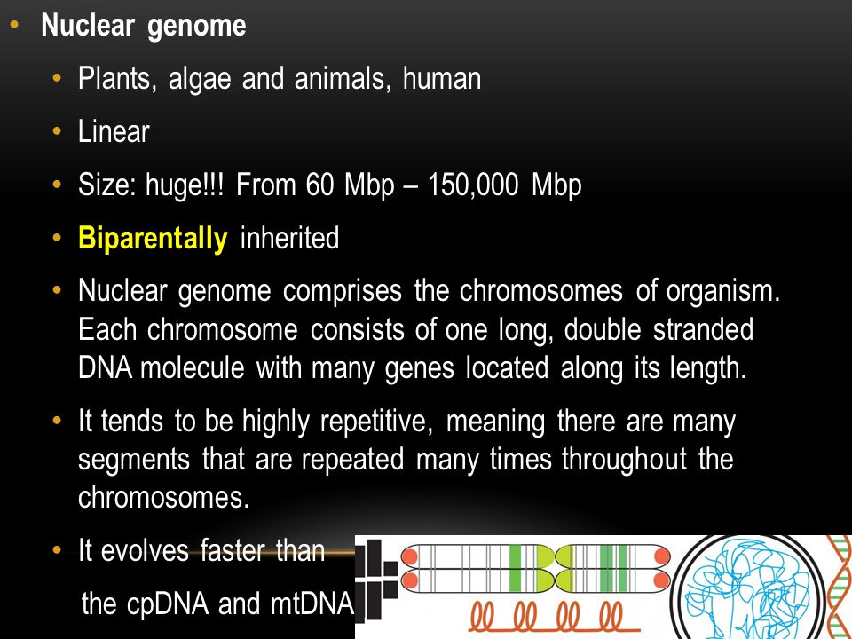Nuclear genome Plants, algae and animals, human. Linear. Size: huge!!! From 60 Mbp – 150,000 Mbp.