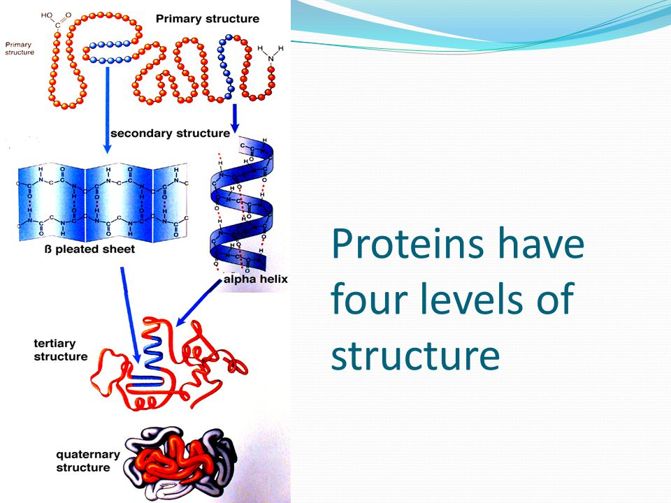 Proteins have four levels of structure