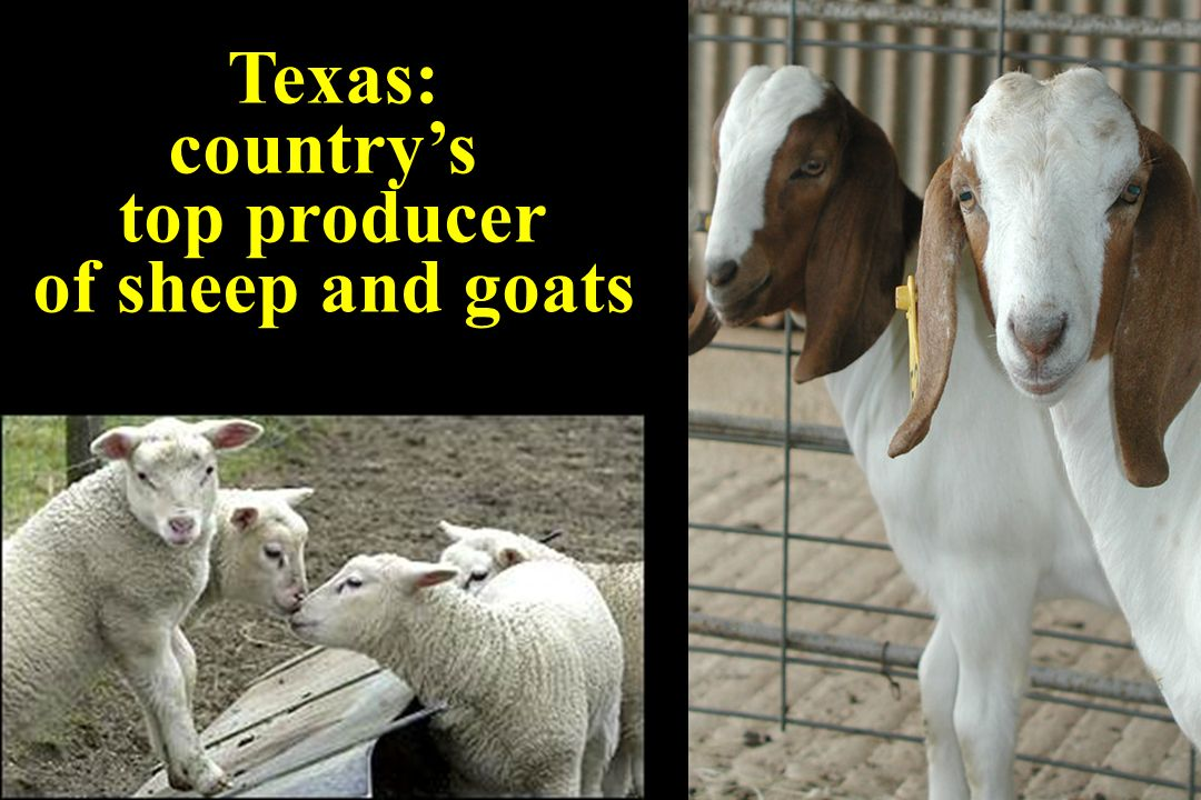 Texas: country's top producer of sheep and goats