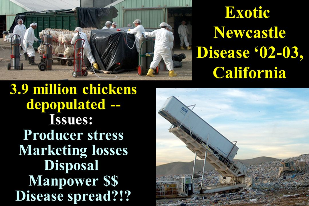 Exotic Newcastle Disease '02-03, California