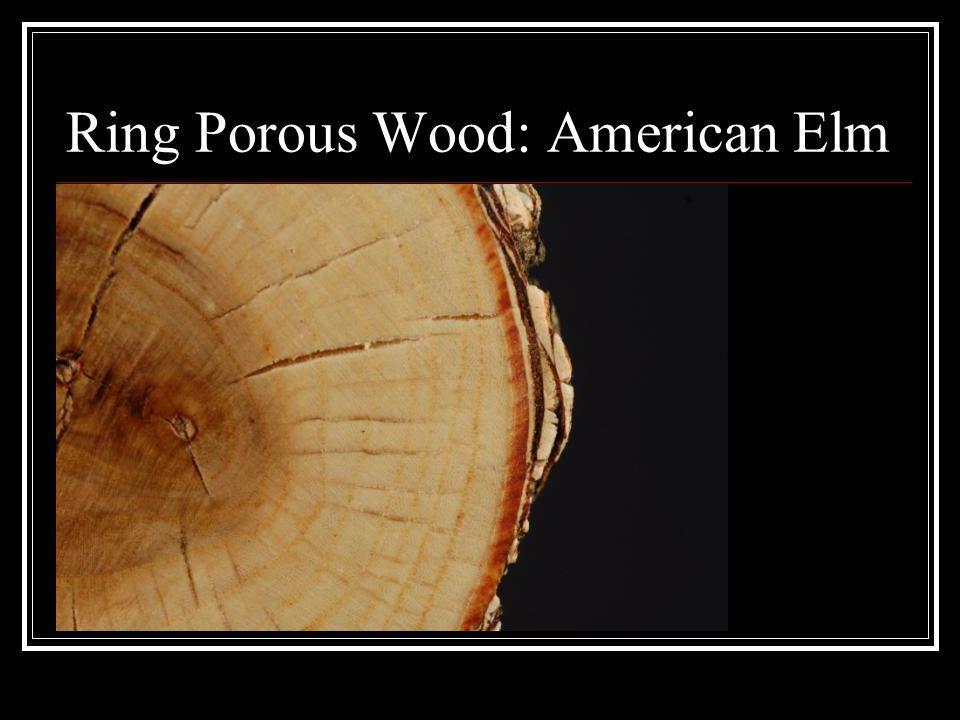 Ring Porous Wood: American Elm
