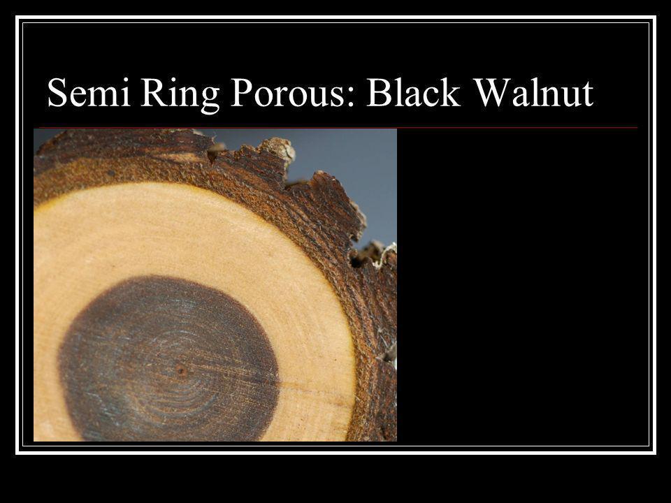 Semi Ring Porous: Black Walnut