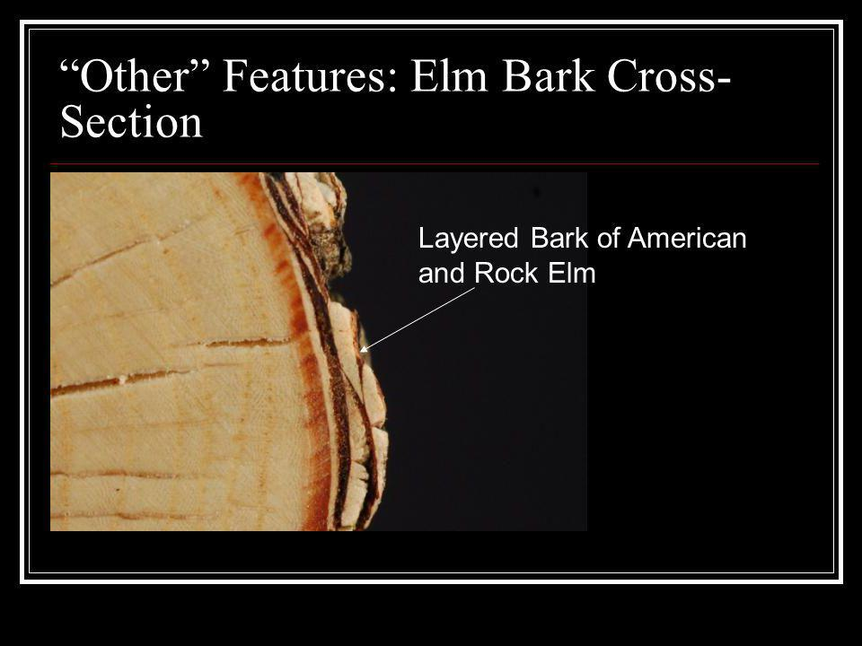 Other Features: Elm Bark Cross-Section