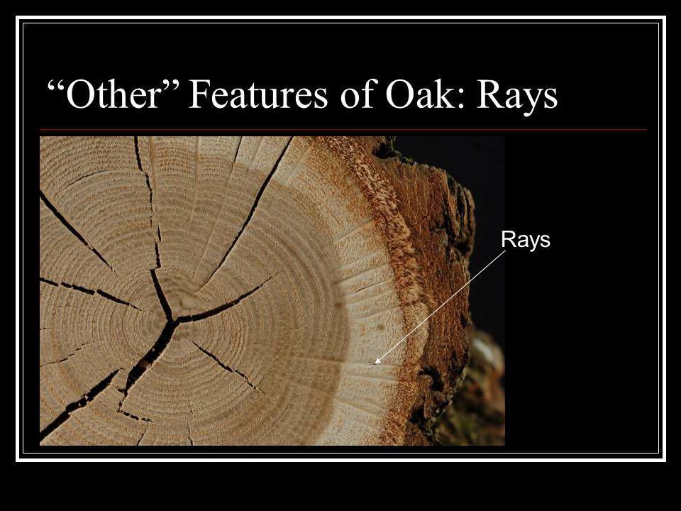Other Features of Oak: Rays