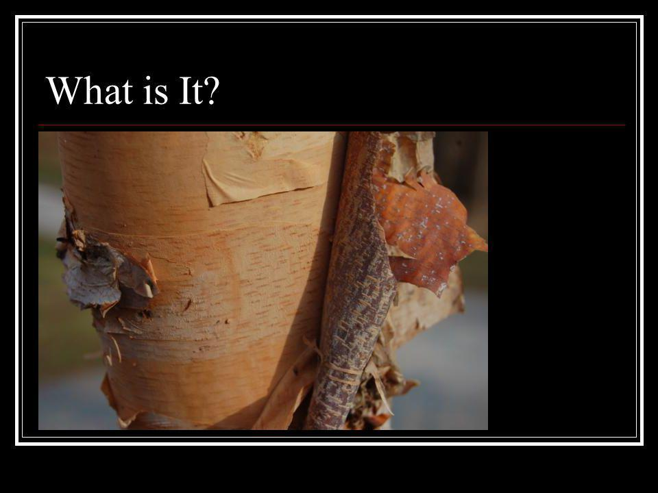 What is It Characteristic copper colored, peeling outer bark with strong, horizontal lenticels.