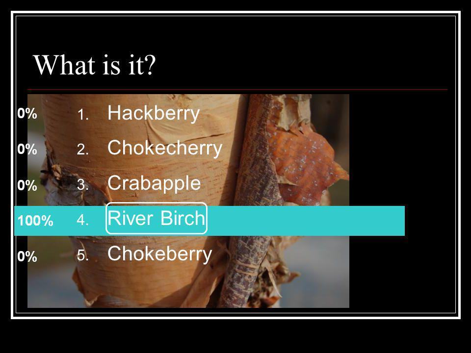 What is it Hackberry Chokecherry Crabapple River Birch Chokeberry